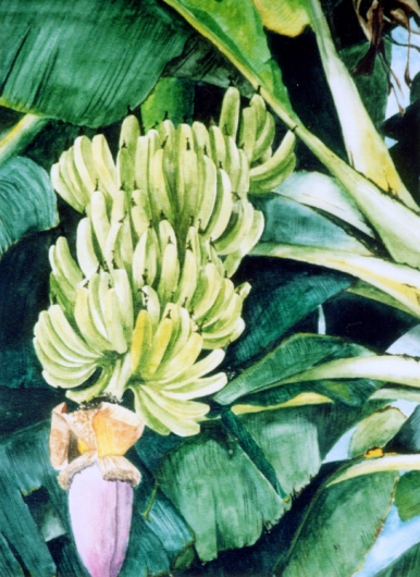 Kapu Kauai watercolor painting - Artist Emily Miller's Hawaii artwork of bananas, tree art