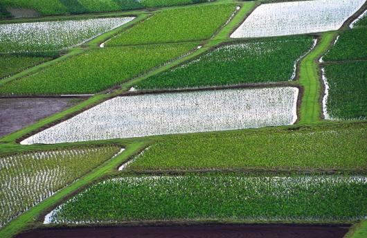Hanalei Taro Fields, 2007